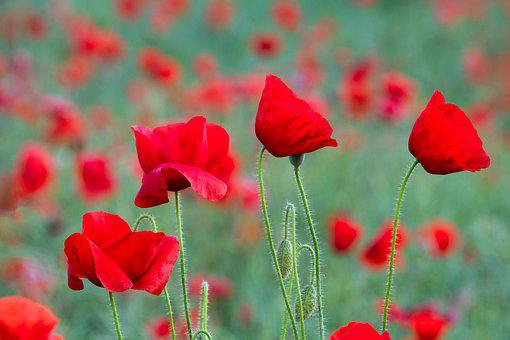 Poppies, Field, Yorkshire, Summer, Remembrance Day