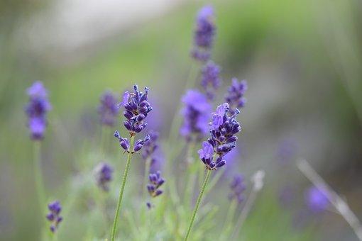 Lavender, Lavender Flower, Perfume, Scent, Nature