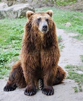 Bear, Brown, Kamchatka, Beast, Animal, Mammal, Sitting