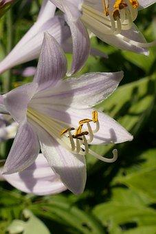 Lily, Flower, Plant, Flora, White, Lilac, Stamen