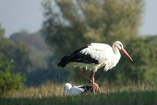 Stork, Bird, Beak, Plumage, Storks, Animals