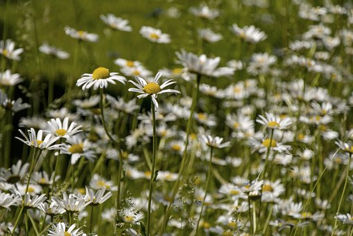 Daisies, Summer, Nature, Meadow Margerite