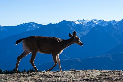 Deer, Olympic National Park, Sunset, Landscape, Nature
