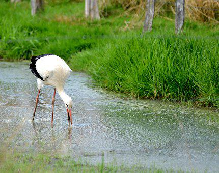 Stork, Bird, Wing, Beak, Plumage, Symbol, Leg, Elegant