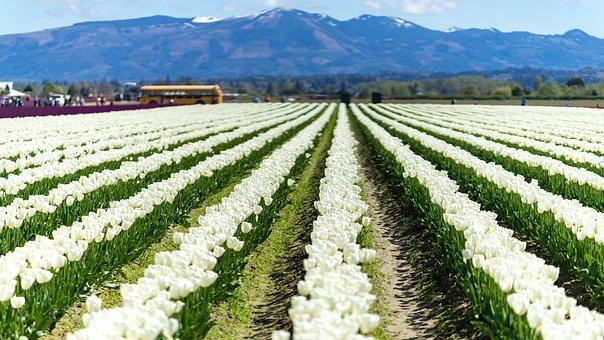 Tulip, Fields, Washington, Spring, Tulips, Flowers