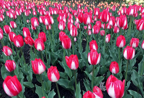 Tulips, Flowers, Spring, Field, Red, Green, Tulip