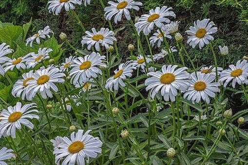 Daisies, Bloom, Yellow, White, Flowers