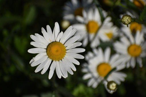 Daisy, Flower, Macro, Bloom, Chamomile, White, Garden