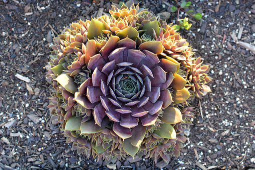 Succulents, Sunset, Nature, Wilderness, Plant, Outdoor