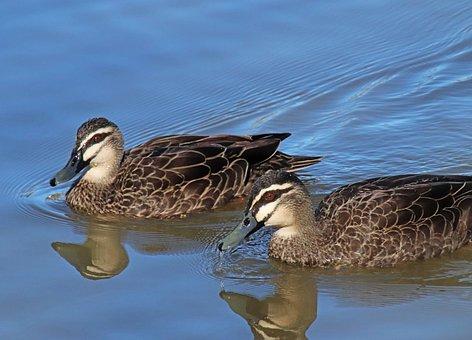 Ducks, Birds, Poultry, Lake, Wildlife, Reflection