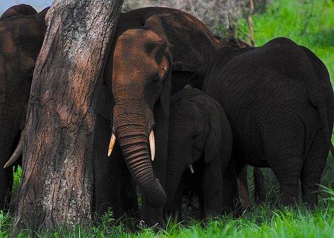 Elephant, Africa, Safari, Wildlife, Trunk, Wilderness