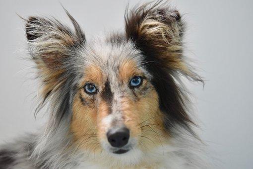 Dog, Young Bitch, Dog Shetland Sheepdog, Dog Blue Eyes