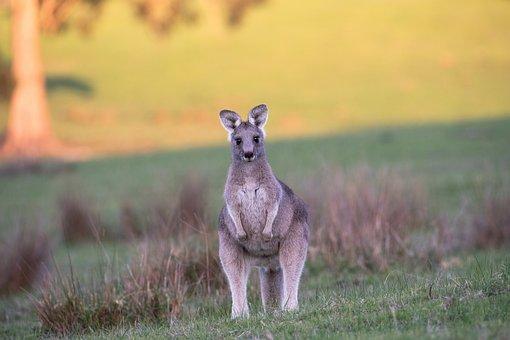 Kangaroo, Eastern Grey, Australian, Animal, Marsupial