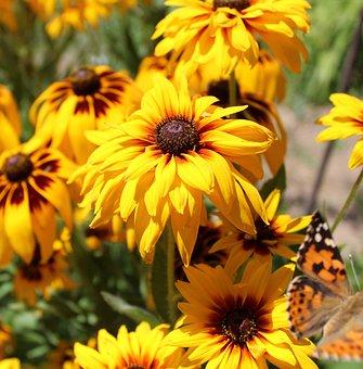 Rudbeckia, Flowers, Garden, Orange, Yellow, Beautiful
