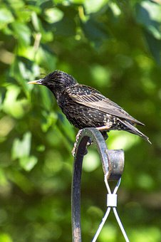 Starling, Black, Bird, Beak, Avian, Perched