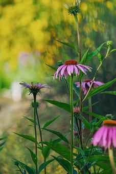 Coneflower, Flower, Blossom, Bloom, Pink, Echinacea
