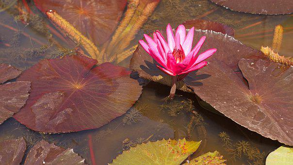 Water Lily, Botanical Gardens, Lotus, Garden, Pond