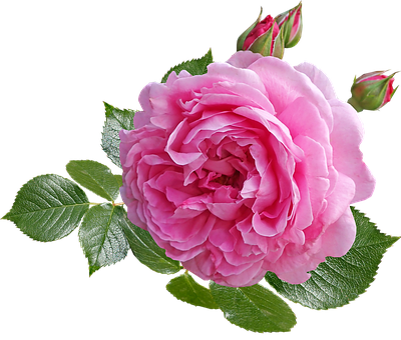 Rose, Pink, Flower, Leaves, Buds, Fragrant, Perfume