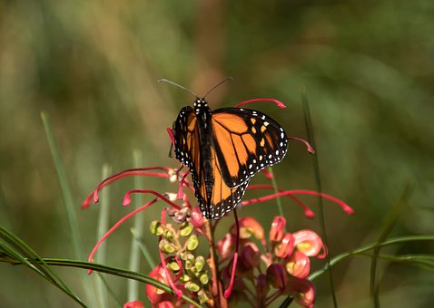 Butterfly, Insect, Large, Orange, Black, Flower