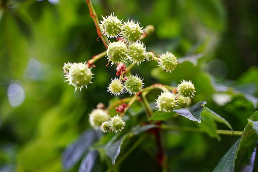 Chestnut, Kastenien Tree, Growth, Immature Chestnut