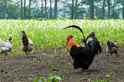 Chicken, Chickens, Haan, Free-range Chickens, Farm