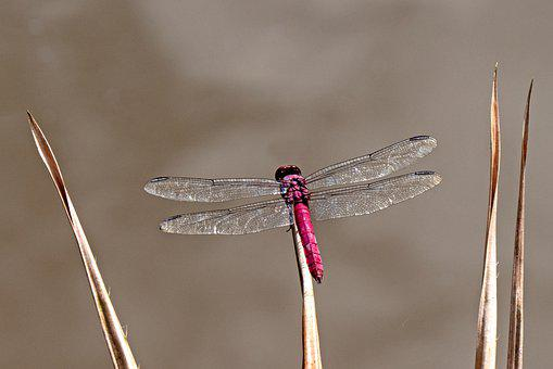 Dragonfly, Insect, Macro, Wing, Close Up, Flight Insect