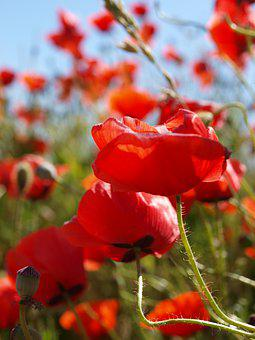 Poppy, Summer, Bed, Red, Plant, Flower, Field, Color