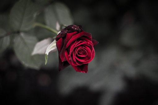 Rose, Purple, Dark, Trauerkarte, Sadness