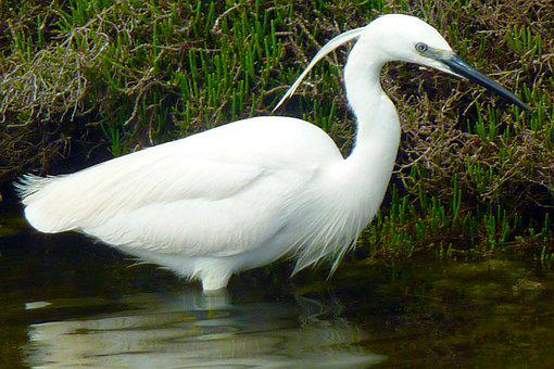 Little Egret, Egretta Garzetta, Animal World, Bird