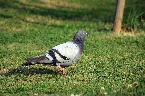 Pigeon, Dove, New, Bud, Animal, Peace, Feather