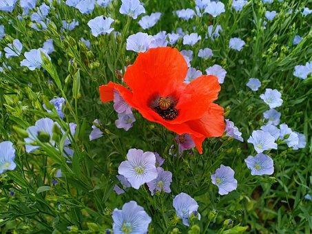 Flax, Linen, Flax Seed, Flowers, Poppy