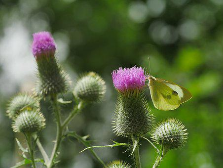 Butterfly, Diestel, Close Up, Flight Insect, Flower