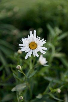 Flower, Floral, Greenery, Daisy, Summer Flowers