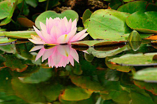 Water Lily, Flower, Aquatic Plant, Pond, Water, Blossom