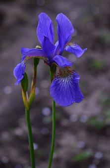 Iris, Blue, Flower, Nature, Garden, Plants