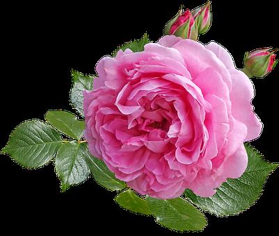 Rose, Pink, Flower, Leaves, Buds, Fragrant, Greeting