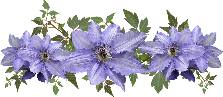 Clematis, Flowers, Leaves, Arrangement, Cut Out