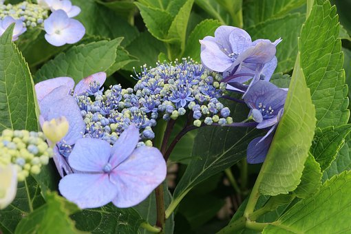 Natural, Flowers, Hydrangea, Blue-violet, Outdoors