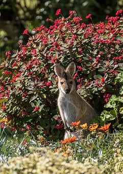 Wallaby, Young, Rednecked Wallaby, Brown, Grey, Fur