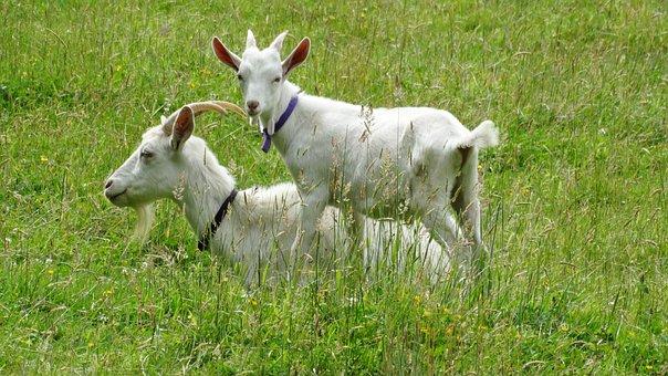 Goats, Goat, Kid, Animal, Farm, White, Green