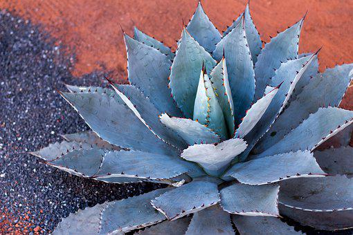 Agave, Plant, Cactus, Succulent, Green, Aloe, Mexico
