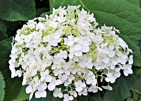Plant, Hydrangea, Ornamental Shrub, Summer, Garden