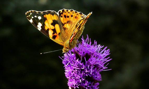 Butterfly, Insect, Latria Kłosowa, Flower, Macro, Wings