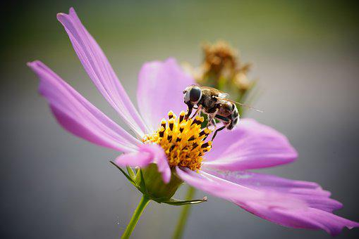 Bee, Cosmos, Flower, Nature, Autumn, Honey, Insect
