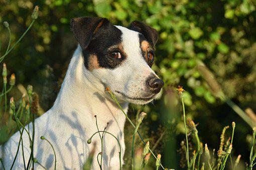 Jack Russel, Look, Dog, Terrier, Cute, Canine, Jack