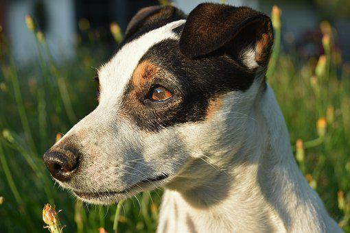 Jack Russel, Dog, Terrier, Animal, Cute, Canine, Look