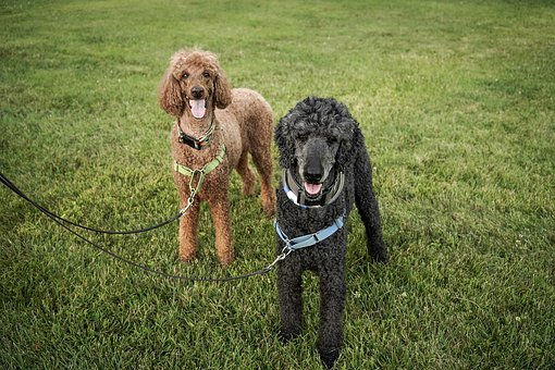 Standard, Poodles, Big, Dogs, Walking, Leashes, Canine