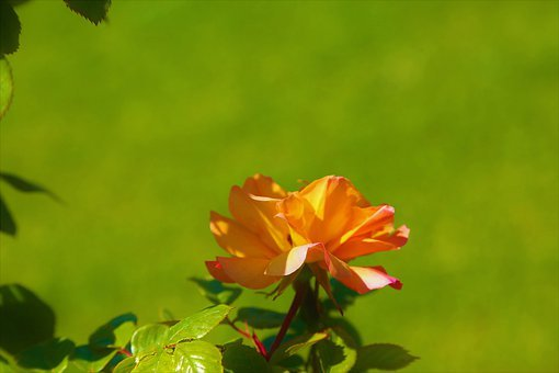 Rose, Spring, Red, Green, Beautiful, Background, Leaves
