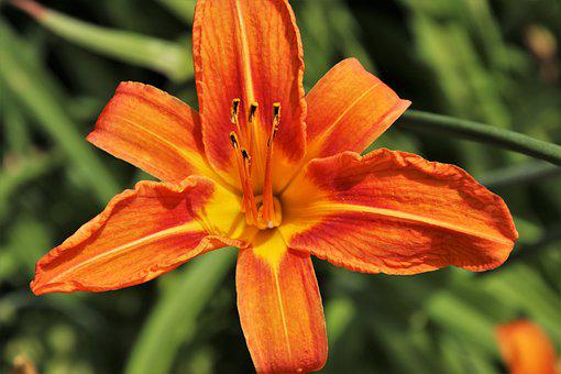 Daylily, Lily, Blossomed, Stamens, Orange, Summer