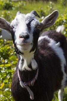 Goat, Farm, Livestock, Goats, Animal, Pets, Nature